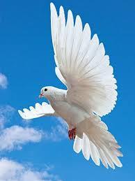 best 25 white doves ideas on pinterest dove flying white