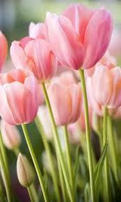 wallpaper bunga tulip tulip wallpaper apk download free personalization app for android