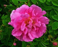 Rose Petals Rose Petals Natural Robertet U2013 Perfumer Supply House