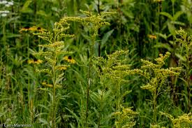 escape of the invasives top six invasive plant species in the invasive plants natural areas notebook