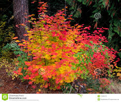 central oregon native plants vine maple small tree or large shrub seen here in fall color it