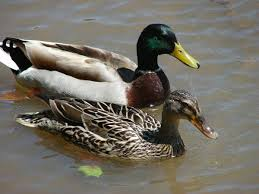 drake or duck mallard bird and animal