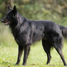 belgian sheepdog groenendael breeder z pictures and images page 4200