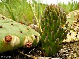 native ohio plants a native cactus of ohio trekohio