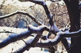 wither tree with snow on branch free stock photo