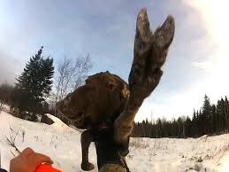 Moose Meme - omg this photo of a baby moose needs a caption contest maine