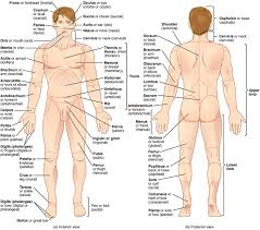 Human Body Picture Mapping The Body Boundless Anatomy And Physiology