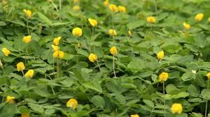 perennial peanut a new ground cover for your yard