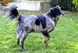 belgian sheepdog rescue texas dash dog rescue online