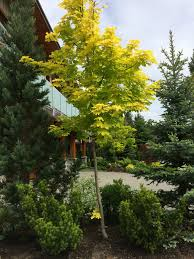 Ornamental Maple Tree Landscapes Yellow Leaf Maple Tree