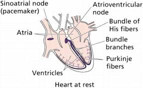 Anatomy Of The Heart Lab Circulatory Systems