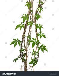 Morning Glory Climbing Plant - wild morning glory vine leaves climbing stock photo 602653184