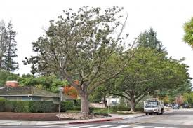 the best and worst trees for palo alto streets news palo alto