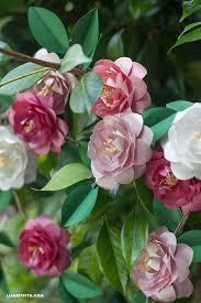 camellia flowers metallic paper camellias