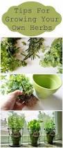 best 25 growing herbs indoors ideas on pinterest indoor herbs