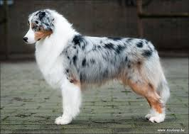 australian shepherd agility 10 images about puppy dog on pinterest for dogs games to play