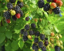plants native to africa growing blackberry plants how to grow blackberries