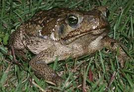 How To Get Rid Of Cane Toads In Backyard What To Do When Your Dog Bites A Toad It Just Dawned On Me