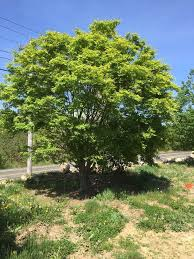Green Vase Japanese Zelkova Hf Johnson Tree Farm Llc Plantant Com