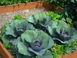 raised beds in seattle vegetable gardener