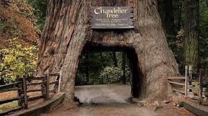 Chandelier Tree California Coast Redwoods Hyperion And Chandelier Tree Www