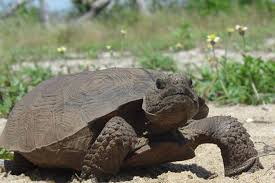 florida man caught killing and eating tortoises time