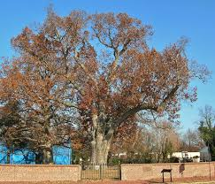 file salem oak white oak tree in salem new jersey november