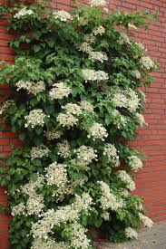garden how to grow your climbing hydrangea as a shrub