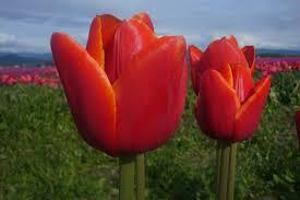 Skagit Valley Tulip Festival Bloom Map Tulips The Bellingham Real Estate Guy