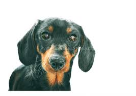 miniature dachshund greeting card wildlife artist