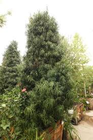 how to grow pine trees for sale better