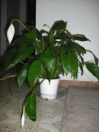 peace lilly peace drooping what s up