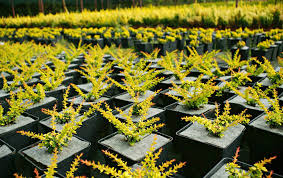nursery of ornamental plants shrub trees in containers production