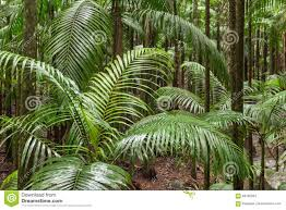 Plants That Grow In Tropical Rainforests Palm Trees Growing In Tropical Rainforest Stock Image Image Of