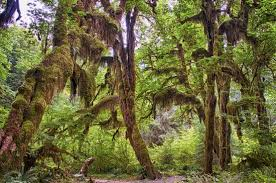 Light Of Dawn The Moss Covered Trees Light Up With Brillant Green Awakened By