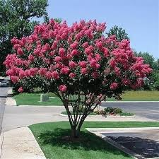 crepe myrtle lagerstroemia indica is an ornamental tree that