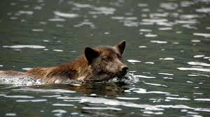 belgian shepherd hunting why is canada u0027s wolf population splitting into two groups