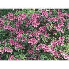 Shop 3 Gallon Purple Formosa Azalea Flowering Shrub L5874 At