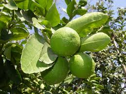 lime tree free pictures on pixabay