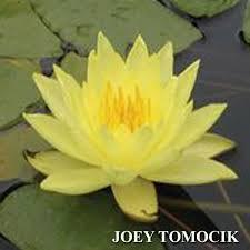 yellow lilies water yellow nymphaea joey tomocik yellow hardy water