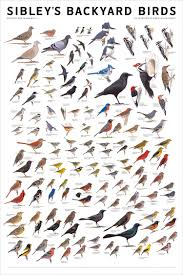 sibley u0027s bird poster wood love to hang by the kitchen window to