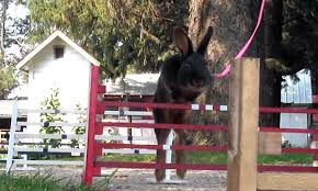 world of rabbit best in hop the world of rabbit show jumping aol news