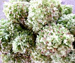 Dried Hydrangeas Cultivate Create How To Dry Hydrangeas