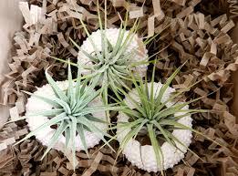 Air Plants Amazon Com Air Plant Triplets Three Pink Sea Urchin With Air