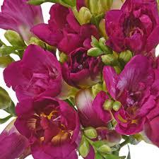 freesia flower pink designer freesia flower