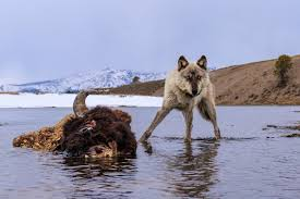 capturing the wildness of wolves in yellowstone u2013 proof
