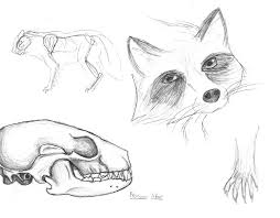 raccoon sketches by autumndragon1172 on deviantart