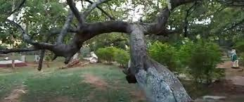 700 year banyan tree in southern india put on a drip to save