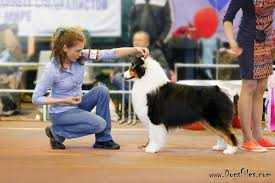 d b australian shepherds pedigree database australian shepherd