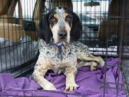 bluetick coonhound rescue illinois view ad bluetick coonhound dog for adoption maryland